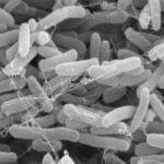 Bakterien: Nahrungsmenge bestimmt Entwicklung