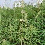 Cannabis zerstört Leukämie-Krebszellen